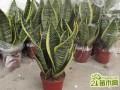 家庭盆栽虎皮兰怎么养殖养护