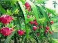 火龙果种植要投资多少钱?  火龙果种植收益怎么样?