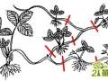 草莓怎么繁殖,草莓苗走茎该从哪里剪断