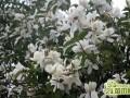 含笑花怎么养   含笑花的养殖条件和养殖方法