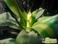 什么是巴西木   巴西木的养殖方法和注意事项
