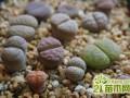生石花蜕皮期怎么养护  生石花什么时候断水浇水