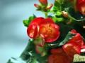玻璃海棠的养殖方法  玻璃海棠养殖注意事项