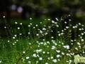 满天星怎么栽培养殖