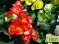 玻璃海棠夏天养护怎么浇水