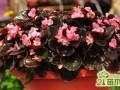 四季海棠是玻璃海棠吗?  四季海棠的养殖方法