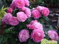 月季花如何爆盆花满枝头,三大不得不看的养殖技巧