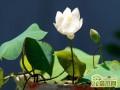 碗莲和睡莲养哪种好  碗莲和睡莲怎么区别
