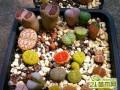 生石花的种子怎么播种  生石花的种植方法技巧