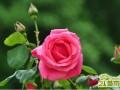 月季花有哪些扦插方法   月季花扦插的最佳时间