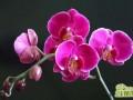 蝴蝶兰的家庭养殖方法和注意事项