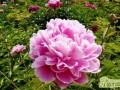 芍药花怎么养殖  芍药花的基本养护方法