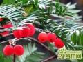 红豆杉怎么养叶绿果红