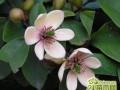 盆栽含笑花怎么养  含笑花的养殖方法