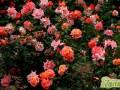月季种植花大花香的养护秘诀是什么