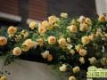 适合制作花墙的月季品种有哪些