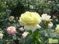 盆栽月季可以室外越冬吗?   月季室外越冬法