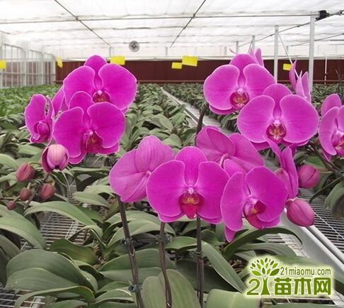 家养蝴蝶兰为什么容易短命,蝴蝶兰如何养护延长花期