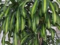 室内养好盆栽巴西木要注意什么