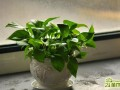 水培绿萝秋冬季怎么养   绿萝秋冬养殖养护方法