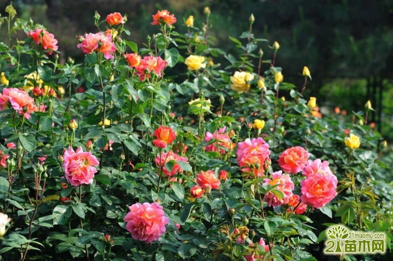耐寒月季怎么种养   耐寒月季的栽培养殖方法