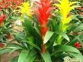凤梨花怎么养殖的方法和注意事项介绍
