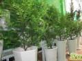 红豆杉家里盆栽怎么养  红豆杉的种植经验分享