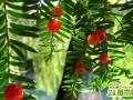 红豆杉可以吃吗?  红豆杉的功效作用与食用方法