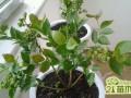 家庭盆栽蓝莓怎么种  蓝莓的盆栽种植方法