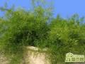 天门冬武竹怎么养   天门冬的养殖方法和注意事项