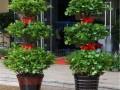 盆栽摇钱树怎么养  摇钱树的养殖方法和注意事项