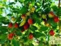 枣树养殖怎么修剪  枣树的修剪方法技巧大全