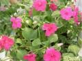 玻璃翠有毒吗?   玻璃翠花有几种?