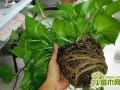 绿萝什么时候换盆好   绿萝怎么换盆换土