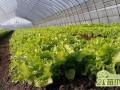 生菜种子怎么种   生菜的播种种植方法