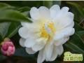 山茶花开花后怎么养  山茶花花期过后的养护秘诀是什么