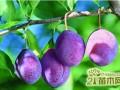 西梅怎么种  西梅的种植管理方法