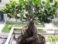 榕树盆景怎么种养   榕树盆景的制作方法和养护技巧