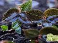 种植金线莲能赚钱吗?  金线莲种植有风险吗?