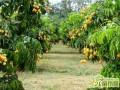 果园种树禁忌:果园忌栽的树种有哪些