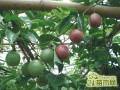 百香果施肥方案:百香果怎么施肥挂果多