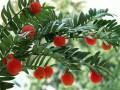 红豆杉好养吗?   红豆杉的养殖方法和注意事项