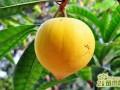 蛋黄果盆栽怎么样种植   蛋黄果的盆栽养护方法