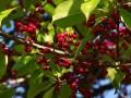 红果冬青怎么种植   红果冬青的盆栽方法