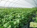 12月份草莓怎么种植管理