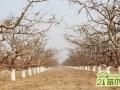 梨树冬季怎么修剪   梨树的冬剪方法和技巧