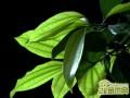 平安树养殖常见病虫害有哪些,如何防治养护