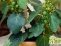 无花果盆栽怎么种  无花果的盆栽种植方法