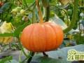 南瓜怎么种植?南瓜的栽培时间和种植方法