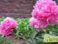 芍药花室内怎么养护   芍药花的养殖方法